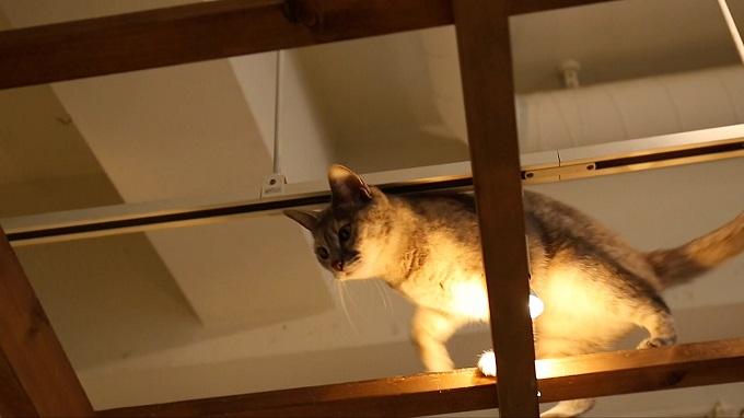 店内を移動する自由奔放な猫
